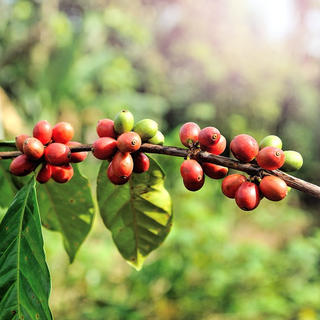 Colombian coffee trees: the scent of perseverance