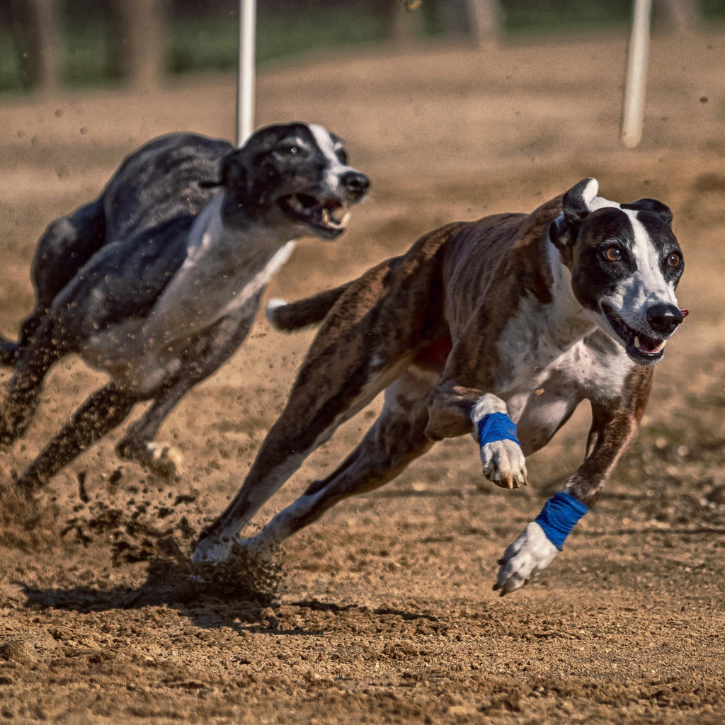 Thrilling greyhound races at the Shelbourne Park racetrack