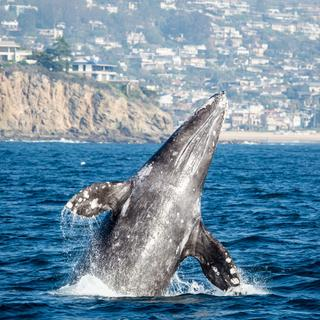 Newport Beach: whale watching less than an hour out of L.A.