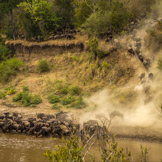 The Mara River wildebeest migration, magic of the animal kingdom