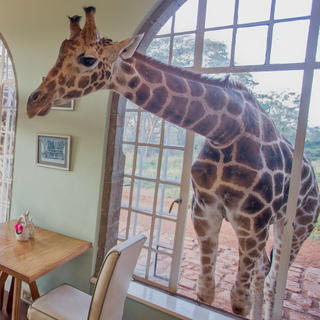 Face-to-face with giraffes at the Giraffe Manor