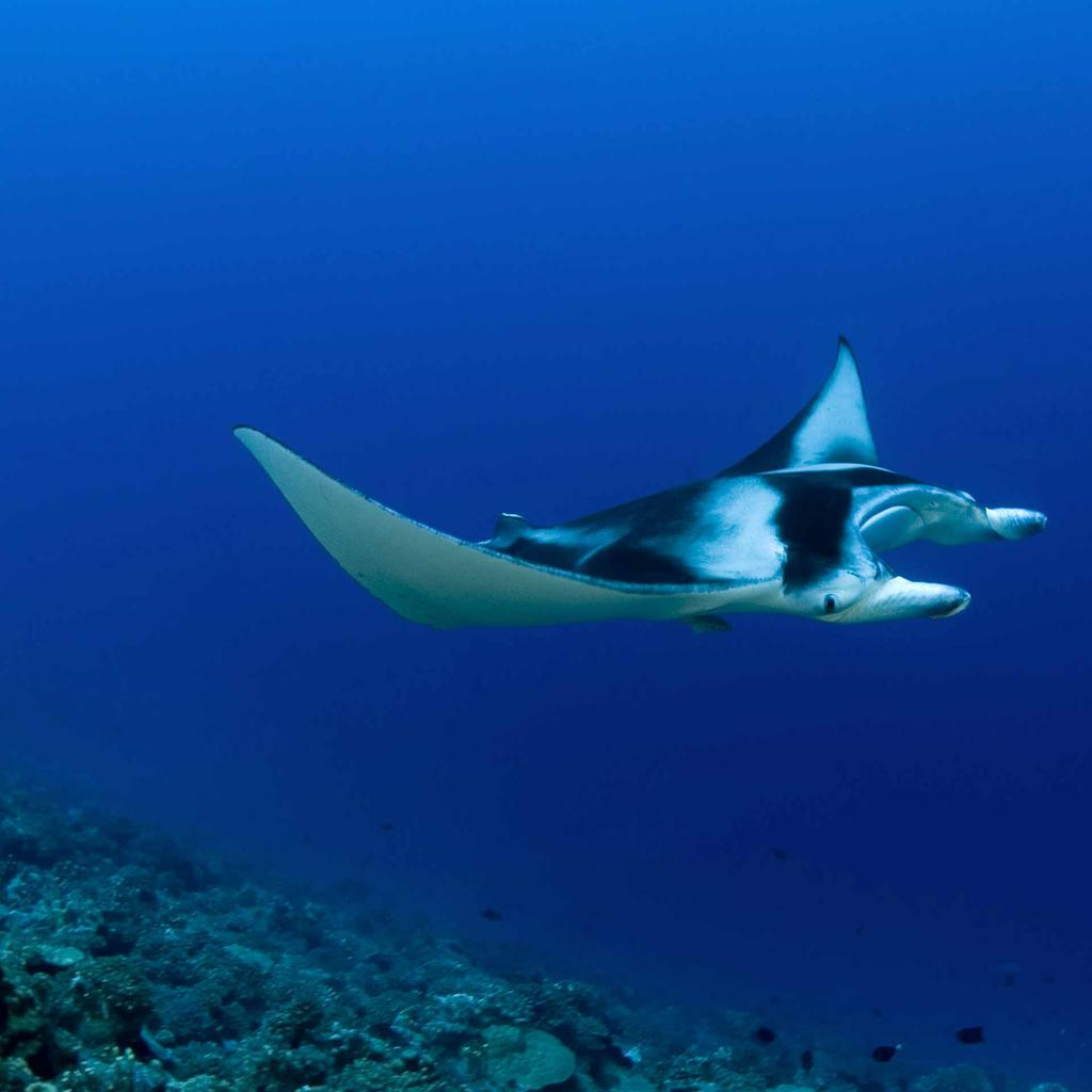 A manta ray ball in Bora Bora