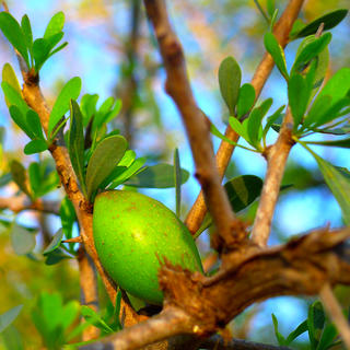 Argan oil, treasure of Marrakech