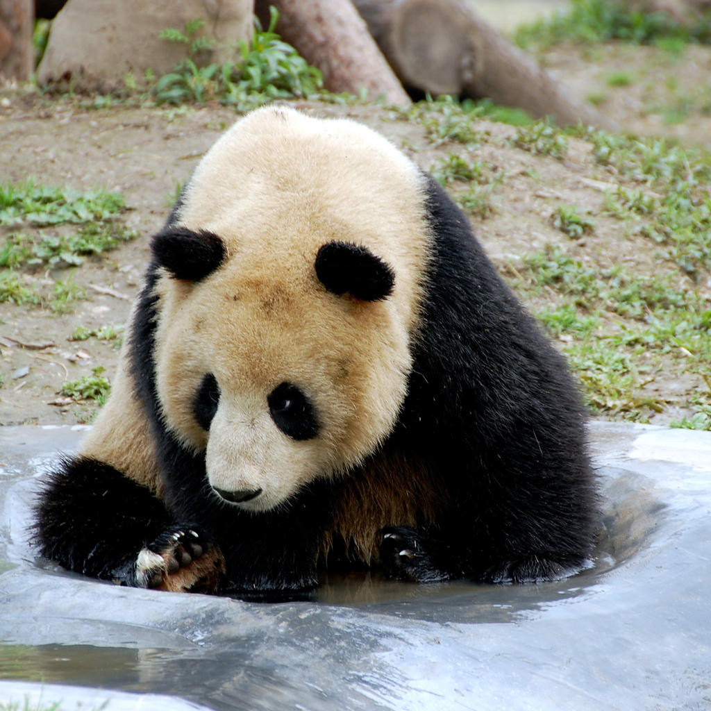 Meet the panda at the Shanghai zoo