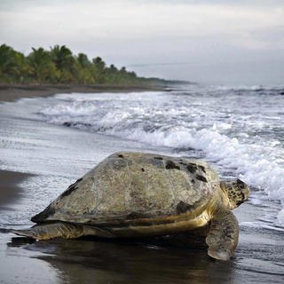Watching turtles in Tortuguero