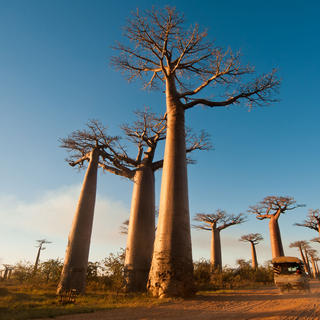 Sunset on the Avenue of the Baobabs