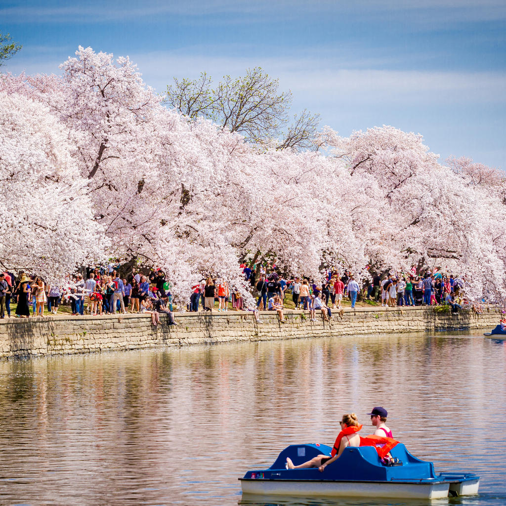 The cherry blossoms: a fleeting springtime marvel